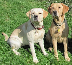 Photos of two dogs as avartar for Labman, Wealthy Affiliate member